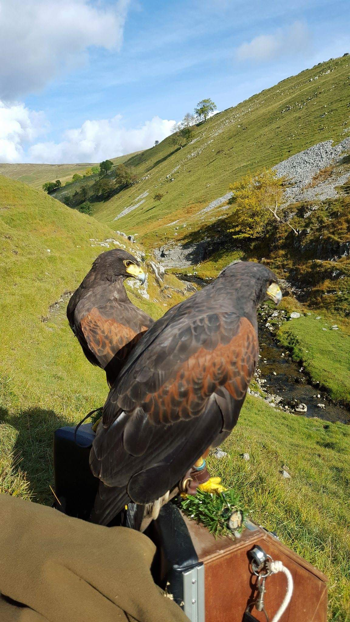 Cast of Harris Hawks