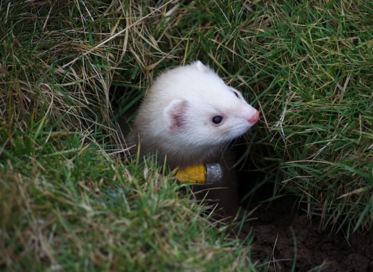 Ferret up North Yorkshire